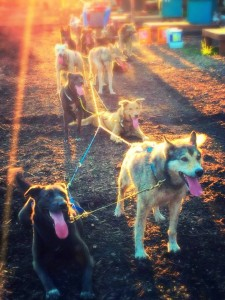 Evening Rolling Dog Sled Ride